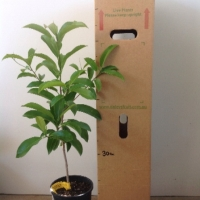 Sapodilla Seedling For Sale 165mm pot