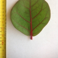 Leaf of the Sea Grape