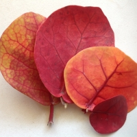 Sea grape colourful leaves
