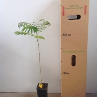 Silk tree For Sale (Size: Medium)  (Grown from Seed)