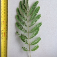 Leaf of the Silk tree
