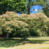 Silk Tree flowering Kyogle