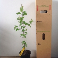 Silver Birch For Sale (Size: Large)  (Grown from Seed)