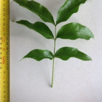 Leaf of the Small Leaf Tamarind