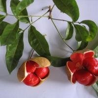 Small leaf tamarind By DaleysFruit.com.au [All Rights Reserved]