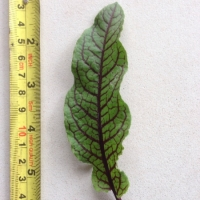 Leaf of the Sorrel Red vein