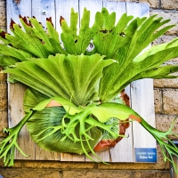 Staghorn Display