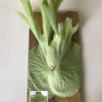 Staghorn Fern (30cm) For Sale (Large)
