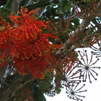 Firewheel Tree By DaleysFruit.com.au [All Rights Reserved]