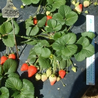 Strawberry Plant Redlands Joy Variety By Sweet Strawberry Runners [All Rights Reserved, Supplier of DaleysFruit.com.au] From http://sweetstrawberryrunners.businesscatalyst.com/gallery