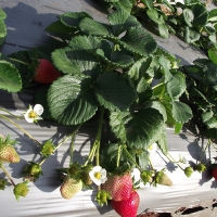 Sugarbaby Strawberry growing on the plant By Sweet Strawberry Runners [All Rights Reserved, Supplier of DaleysFruit.com.au] From http://sweetstrawberryrunners.businesscatalyst.com/gallery