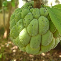 Sugar Apple ripening on the fruit tree By Hellkt [GFDL (http://www.gnu.org/copyleft/fdl.html) or CC BY 3.0  (https://creativecommons.org/licenses/by/3.0)], from Wikimedia Commons