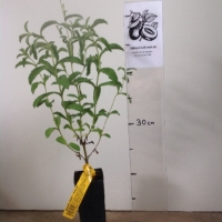 Sugar Herb - Stevia For Sale (Size: Small)  (Cutting Grown)