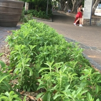 Lots of Stevia plants being grown close together at southbank brisbane
