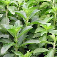Lush new growth of Stevia ready to use fresh
