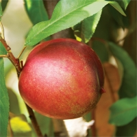 Sugar N Spice Nectarine x Plum By Flemings Nurseries [All Rights Reserved, Supplier of DaleysFruit.com.au]