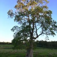Old Swamp Turpentine Tree growing in swamp By DaleysFruit.com.au [All Rights Reserved]
