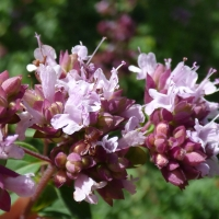 sweet marjoram compliments of gardening secrets