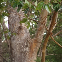 Turpentine trunk compliments of Terania Rainforest Publishing