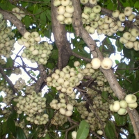 Syzygium moorei, 'coolamon tree', fruit. By Zaareo [CC BY-SA 3.0  (https://creativecommons.org/licenses/by-sa/3.0) or GFDL (http://www.gnu.org/copyleft/fdl.html)], from Wikimedia Commons