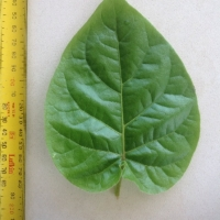 Leaf of the Tamarillo Red