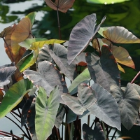 Black Magic Taro Colocasia esculenta By Photo by David J. Stang [CC BY-SA 4.0  (https://creativecommons.org/licenses/by-sa/4.0)], via Wikimedia Commons