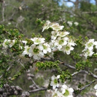 Mozzie Blocker Tree Leptospermum liversidgei flowering By Melburnian [CC BY-SA 3.0  (https://creativecommons.org/licenses/by-sa/3.0)], from Wikimedia Commons