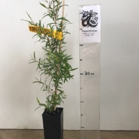 Tea Tree - Lemon Scented  For Sale (Size: Small)  (Grown from Seed)
