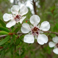 Manuka Leptospermum scoparium By John Tann from Sydney, Australia (Common Tea-tree flower) [CC BY 2.0  (https://creativecommons.org/licenses/by/2.0)], via Wikimedia Commons