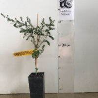 Tea Tree - Manuka For Sale (Size: Small)  (Grown from Seed)