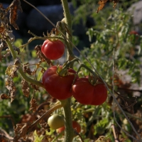 The well known Santorini's cherry tomatoes. By Klearchos Kapoutsis from Santorini, Greece (Santorini's Cherry TomatoesUploaded by Yarl) [CC BY 2.0 (https://creativecommons.org/licenses/by/2.0)], via Wikimedia Commons