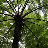 Tree Fern Cyathea cooperi By Hedwig Storch [GFDL (http://www.gnu.org/copyleft/fdl.html) or CC BY-SA 3.0  (https://creativecommons.org/licenses/by-sa/3.0)], from Wikimedia Commons