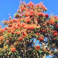 Tree Waratah at Alstonville By DaleysFruit.com.au [All Rights Reserved]