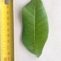 Leaf of the Tuckeroo