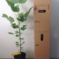 Tulip Tree For Sale 165mm pot