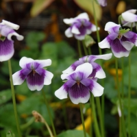Native Violets By DaleysFruit.com.au [All Rights Reserved]