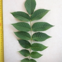 Leaf of the Walnut Black