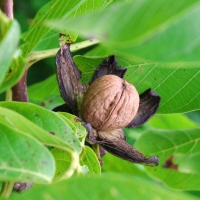 walnut ripening on the fruit tree By Takkk [CC BY-SA 3.0 (https://creativecommons.org/licenses/by-sa/3.0) or GFDL (http://www.gnu.org/copyleft/fdl.html)], from Wikimedia Commons