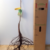 Walnut - Franquette For Sale (Size: Large Bare Root)  (Grafted)