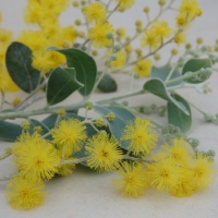 Queensland Silver Wattle By DaleysFruit.com.au [All Rights Reserved]