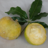 White Sapote - Golden Globe By DaleysFruit.com.au [All Rights Reserved]