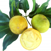 White Sapote fruit By DaleysFruit.com.au [All Rights Reserved]