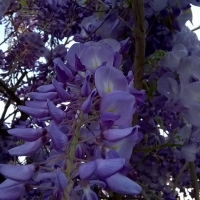 Purple Wisteria sinensis By Stefano Akram [CC BY 2.0 (https://creativecommons.org/licenses/by/2.0/)] From Flickr https://flic.kr/p/uAdZfb