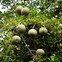 Wood Apple (Feronia limonia) Fruiting on the tree By A. J. T. Johnsingh, WWF-India and NCF [CC BY-SA 4.0  (https://creativecommons.org/licenses/by-sa/4.0)], from Wikimedia Commons
