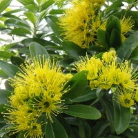 Golden Penda flowers By DaleysFruit.com.au [All Rights Reserved]