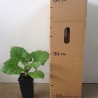 Yacon - Apple of the Earth For Sale (Size: Medium)  (Rhizome)