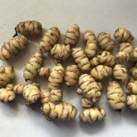 Oca - Aphrodite tubers By DaleysFruit.com.au [All Rights Reserved]