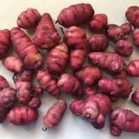 Oca Romeo Tubers By DaleysFruit.com.au [All Rights Reserved]
