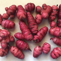 Oca - Solomon tubers By DaleysFruit.com.au [All Rights Reserved]