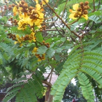 Yellow Flame Tree Peltophorum pterocarpum